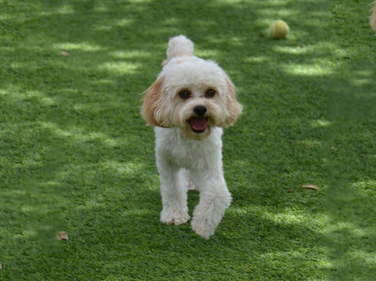 Artificial Grass Photos: Artificial Lawn Midland, Michigan, Grass for Dogs